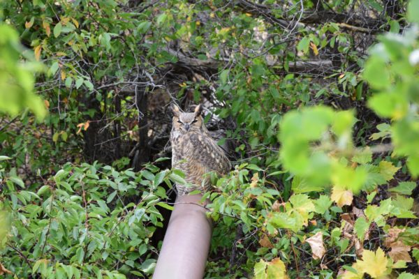 Great Horned Owl on the High Line Canal Sept 2018