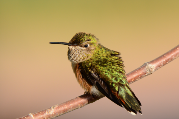 hummingbird by Doug Flin